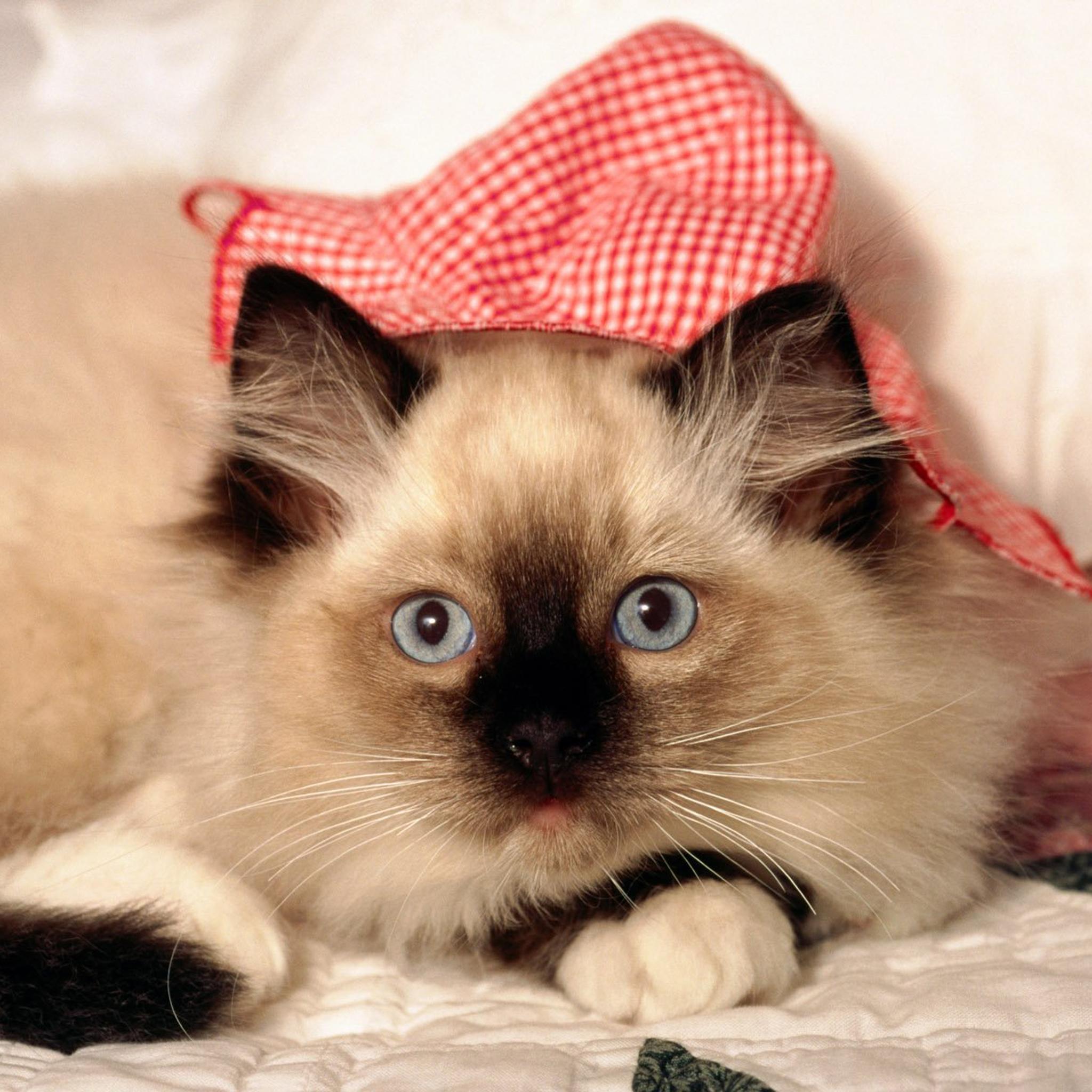 壁纸 动物 猫 猫咪 小猫 桌面 2048_2048